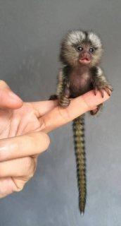 Quality marmoset monkey for sale