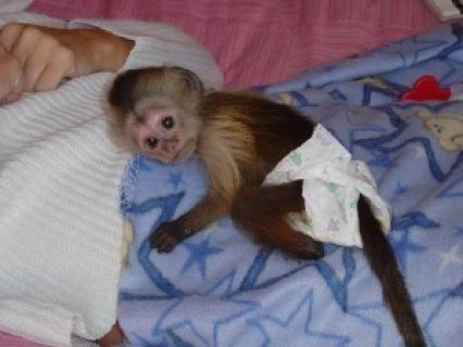 Three Months Old Capuchin Monkey