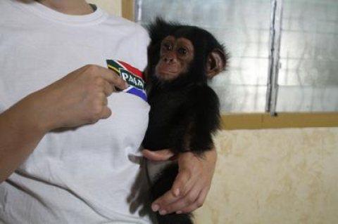 Sweet baby chimpanzee monkeys for sale