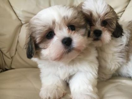 healthy shith tzu puppies for adoption