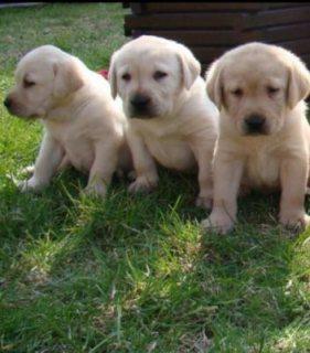 nice Labrador puppies for adoption
