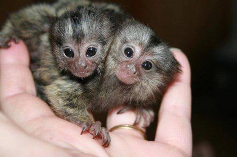Amazing marmoset Monkeys for Sale