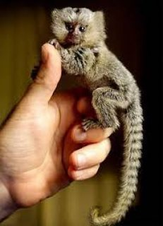 Marmoset moneys available