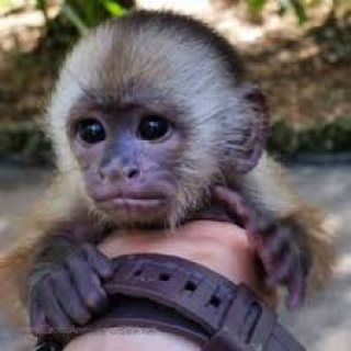 Capuchin monkeys ready
