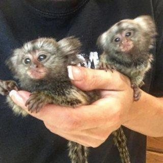 Lovely Marmoset Monkeys available