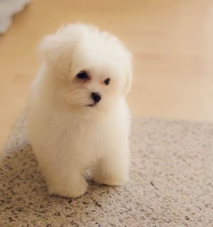 Playful Maltese puppies for sale.