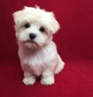 Nice Maltese puppies for sale