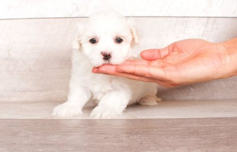 Cute Maltese puppies for sale