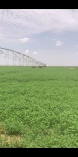 مزرعة برسيم في السودان منتجة