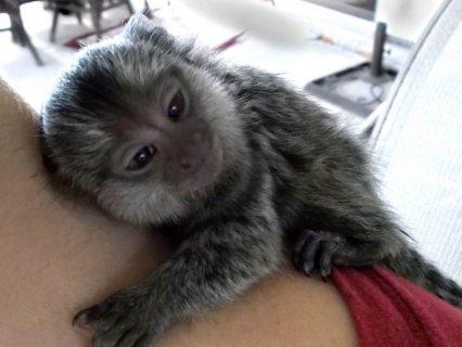Good temperament Marmoset Monkeys For Sale.
