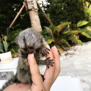 Home Raised Marmoset Monkeys For Sale.