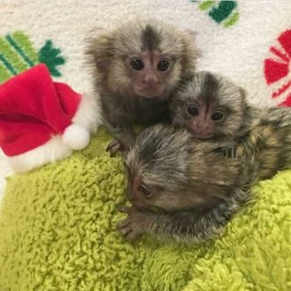 Lovely Marmoset Monkeys for sale.