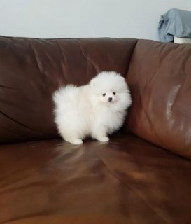 Akc pomeranian puppies