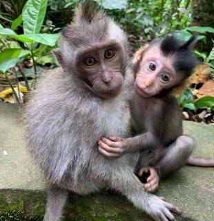 الذكور والقرود capuchin للبيع
