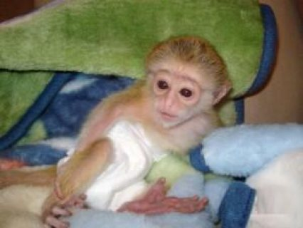 new year baby Capuchin monkeys available for adoption now!!!