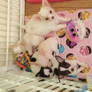 Beautiful Chihuahua Puppies For Sale.