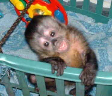 Lovely Capuchin monkeys for sale.