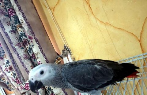 كاسكو للبيع مع القفص\ parrot for sale with cage