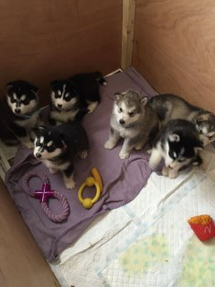 Healthy litter of Pomsky puppies available