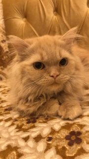 Female cat for sale - cute ginger colored cat