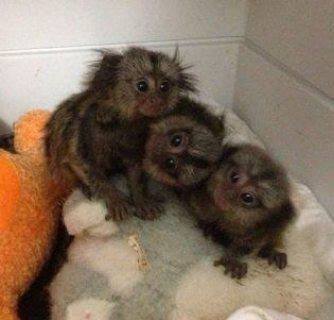 Cutest Marmoset Monkeys available