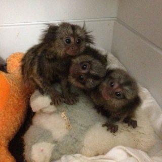 Lovely Finger Marmoset Monkeys available
