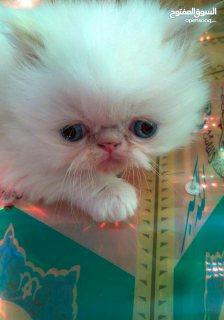 3 قطط هيمالايا بيكي فيس صغيرة متميزة