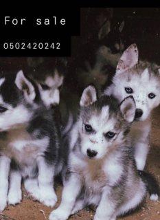 كلاب هاسكي