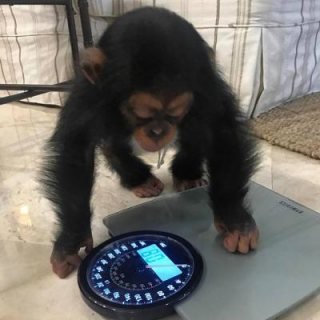 Home trained female baby chimpanzee available