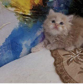 قطوة صغيرة للبيع