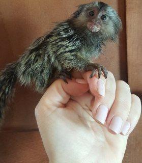 القرود المتاحة ، بضعة أسابيع من العمر