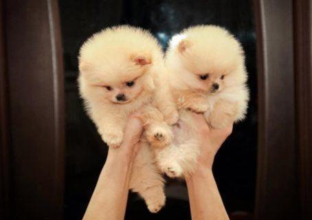 أبيض فنجان كلب صغير طويل الشعر الجراء للبيع