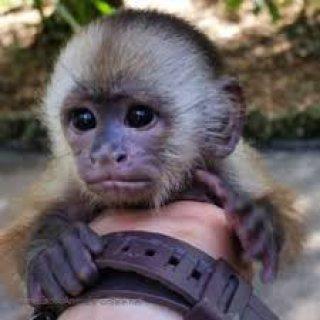 الساحرة الوجه كابتشينو القرد للبيع