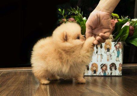 اثنان رهيبة الجراء كلب صغير طويل الشعر تي