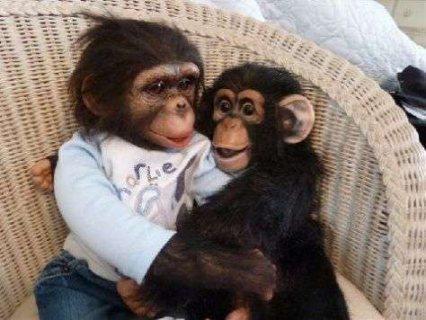 الشمبانزي جميل للبيع جيدة