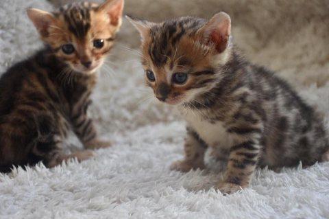 قطط بنغال
