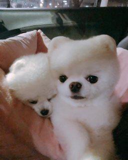 لعبة بيضاء كلب صغير طويل الشعر للبيع