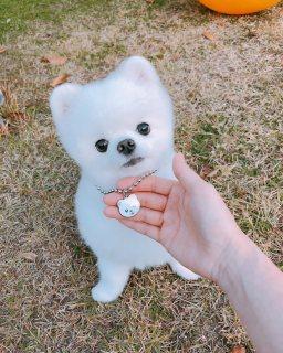 نادرة جدا كريم / لعبة بيضاء كلب صغير طويل الشعر للبيع.