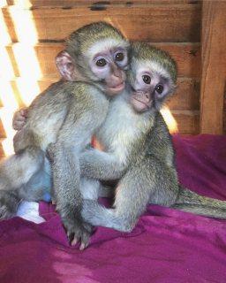 القرود كابوشين الذكور والإناث المتاحة.