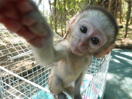 القرود كابوشين الذكور والإناث للبيع