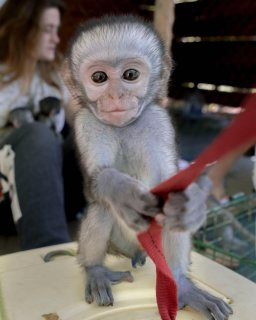 vaccinated/home trained capuchin for sale