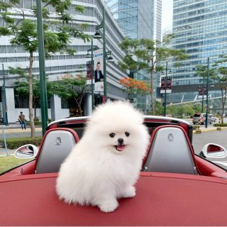 Superb Clouded mini pomeranian dogs with Momma Together for sale