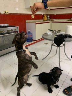 كلب بتيبول للبيع مع الجواز العمر 5 شهور لعوب وممتاز وبصحته الكامله
