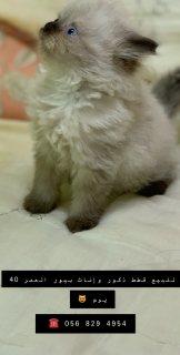قطط بيور للبيع
