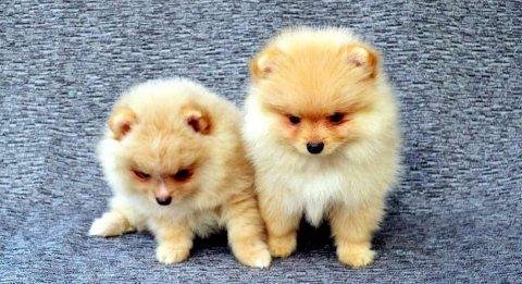 كوب من الجراء كلب صغير طويل الشعر الأبيض الحلو المتاحة