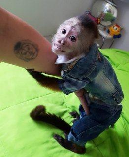 القرود المرموسة المدربة تدريبا جيدا