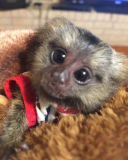 الحيوانات الأليفة الصديقة للطفولة القرد قرد للحصول على منزل جيد