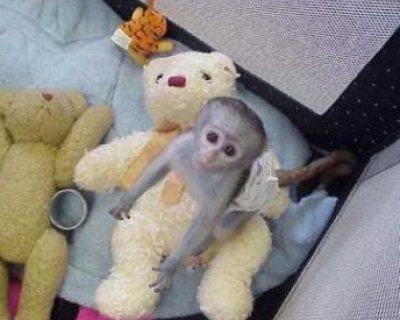 قرد قرد قرد للبيع capuchin available now