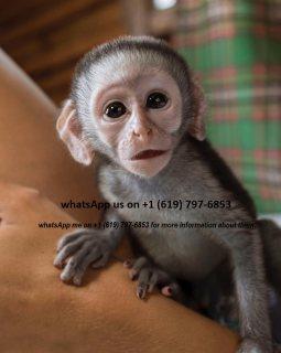 قرد ، كابوتشين ، ذكر ، أنثى capuchin