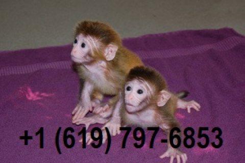 القرود المدربة المنزل المتاحة